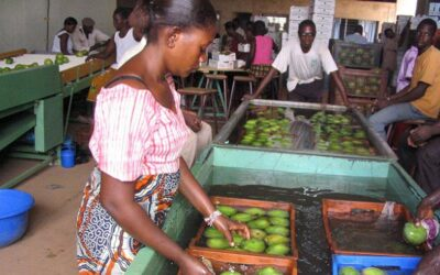 Selling mangoes means better lives for residents of Casamance