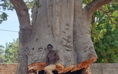 Thousand-Year Old Baobab Tree in Kartong Cut Down For Building Project