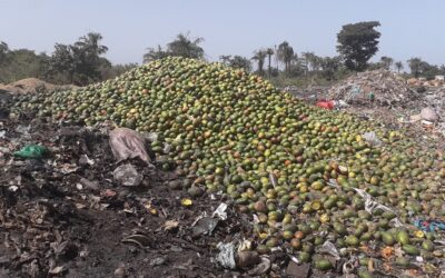 This is the amount of mangoes that is wasted every year